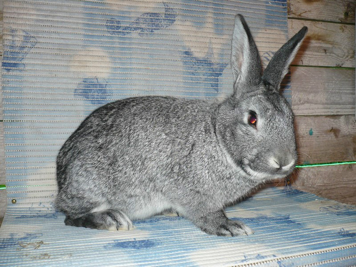 chinchilla mare
